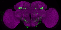 P{GMR13B08-GAL4} expression pattern in adult brain on Virtual Fly Brain