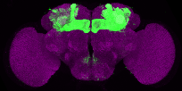 P{GMR76D11-GAL4} expression pattern in adult brain on Virtual Fly Brain