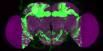 P{VT043656-GAL4} expression pattern in adult brain on Virtual Fly Brain
